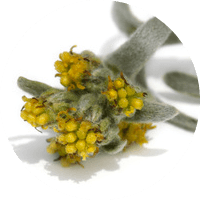 ingredient-genepi