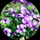 ingredient-violette